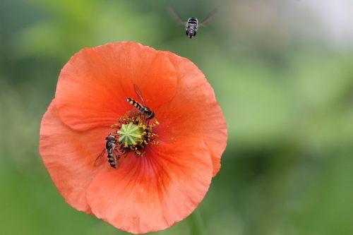fly flies bee