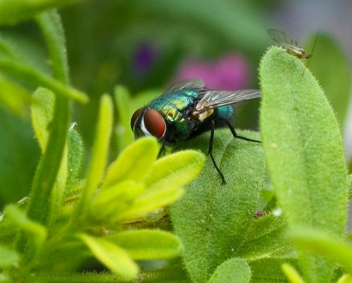 fly housefly common housefly