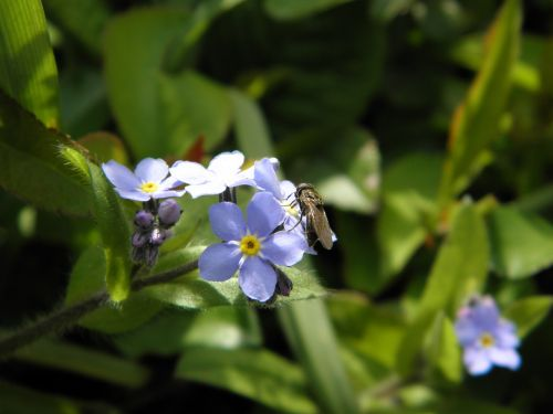 fly insect forget me not
