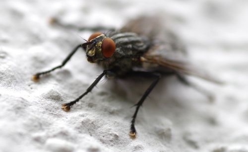 fly insect whopper