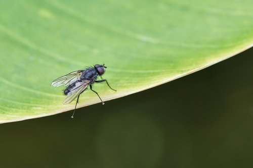 fly  insect  leaf