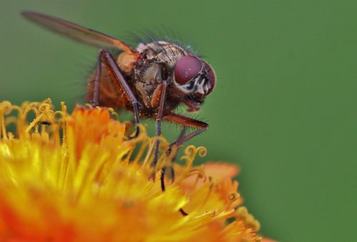 fly compound eyes fly macro