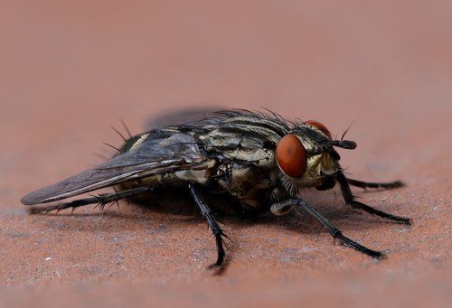 fly  housefly  musca domestica