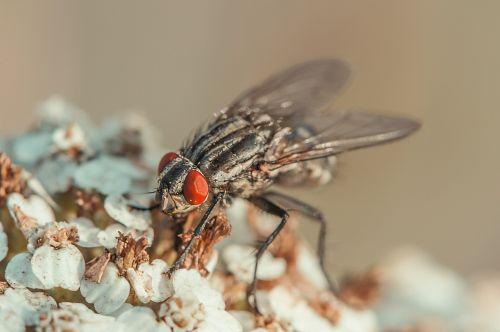 skristi,vabzdys,jungtinės akys,makro,gamta,Uždaryti,gyvūnas,vabzdžių makro,makro nuotrauka,skrydžio vabzdys
