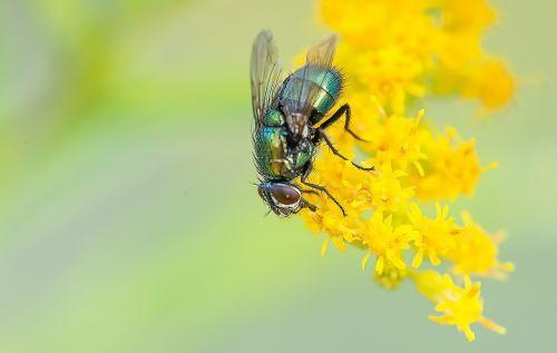 skristi,makro,gamta,vabzdys,gyvūnas,Uždaryti,vabzdžių makro,vasara,gyvūnų pasaulis,žiedas,žydėti,makro nuotrauka,skrydžio vabzdys