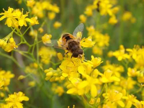 fly tenax eristalis