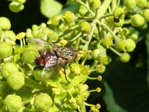 fly nuisance botfly