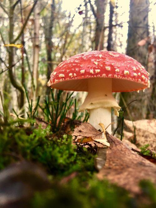 fly agaric mushroom mushroom cultivation