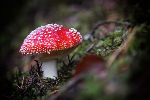 fly agaric forest red mushroom