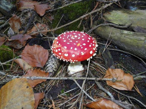 fly agaric nature forest