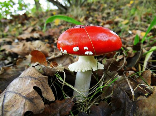 fly agaric forest red fly agaric mushroom