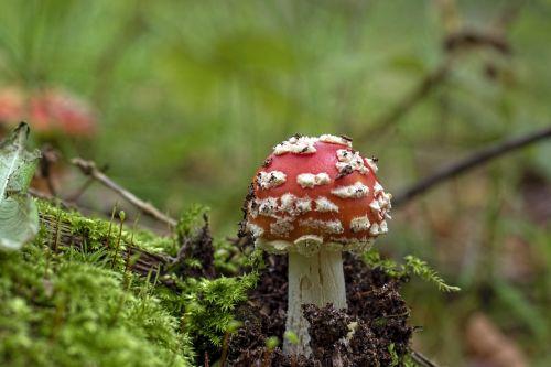 fly agaric red fly agaric mushroom screen