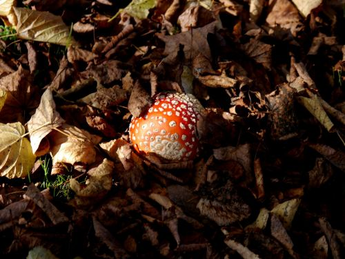 fly agaric leaves toxic