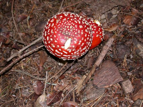 fly agaric toadstool mushrooms