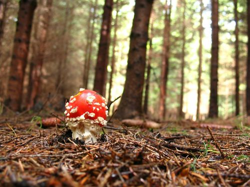 fly agaric red forest