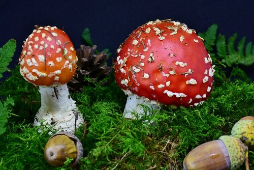 fly agaric  mushroom  red fly agaric mushroom