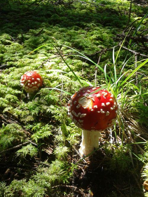 fly agaric forest mushroom