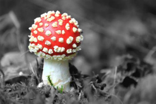 fly agaric mushroom nature