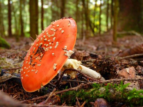 fly agaric pil red