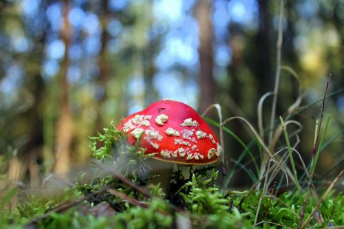 fly agaric red forest mushroom