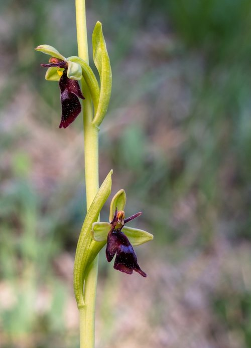 fly orchid  wildform  orchid
