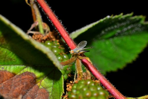 fly the largest raspberry rot gallica pests