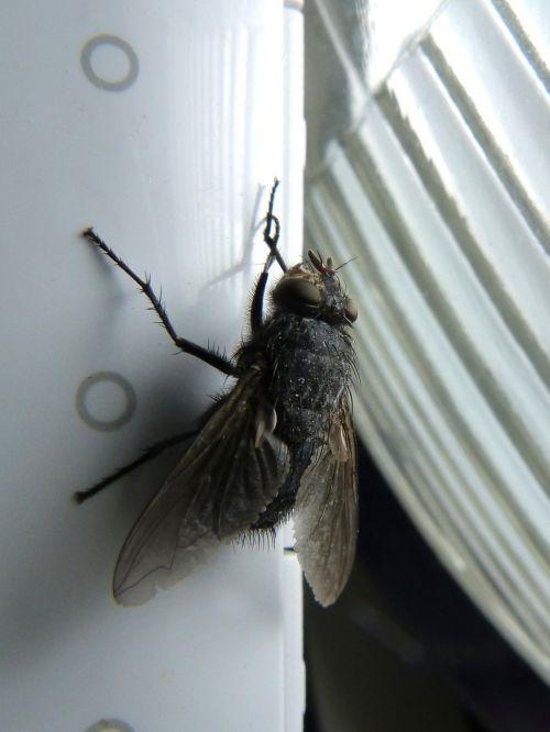 fly shaggy botfly nuisance