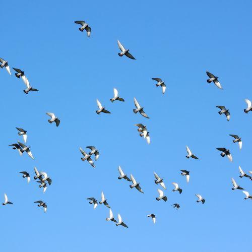 flying birds a flock of pigeons pigeons