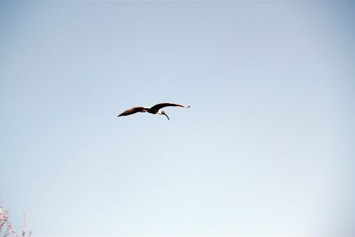 Flying Crane On Blue Sky