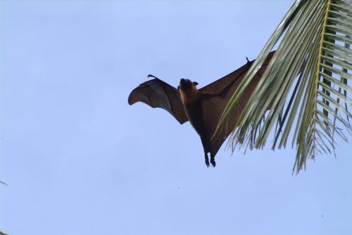 flying fox maldives