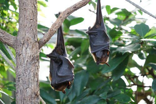 flying foxes bat tropical bat