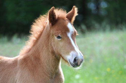 kumeliukas,Islandijos kumeliukas,Islandijos arklys,mielas,arklys,saldus,gyvūnas,grynas,jaunas gyvūnas,gyvulininkystė
