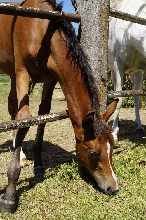 foal arab foal coupling