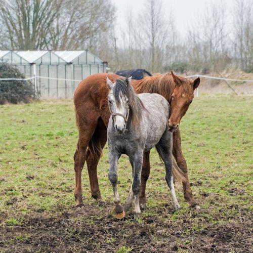 foal horse pre