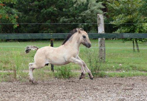 foal high country pony fawn