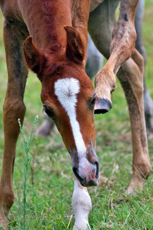 foal animal arabian