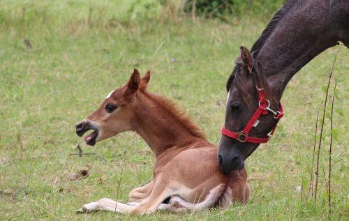 foal lying horse foal