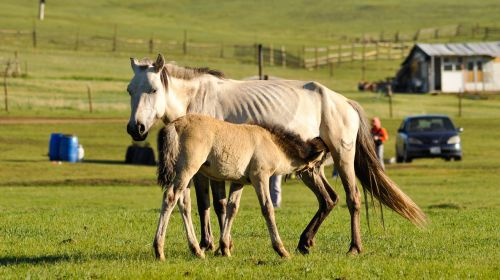 foal mare feeding