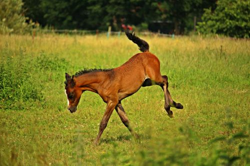foal horse play