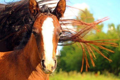 foal horse mane
