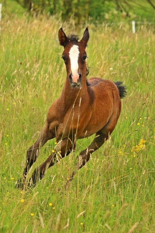 foal horse thoroughbred arabian