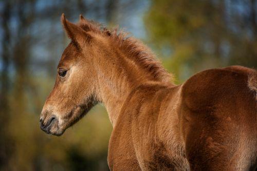 foal horse quarterhorse