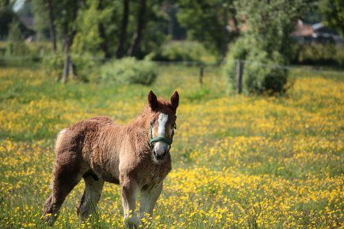foal horse animal
