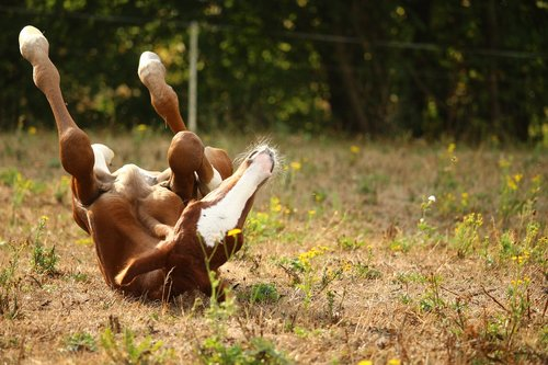 foal  horse  rolling