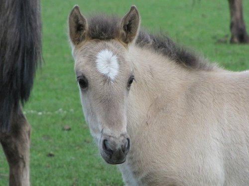 foal  wild horse  dülmen germany