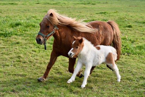 foal  shetland pony  shetland pony jarod
