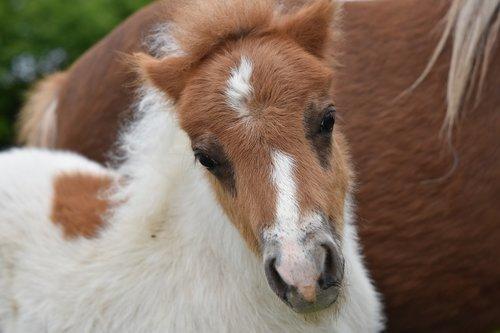 foal  shetland pony  pony jarod