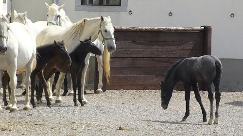 foal horses isolate