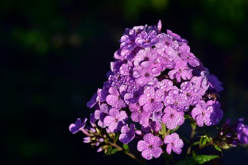foammenblume  phlox paniculata  blossom
