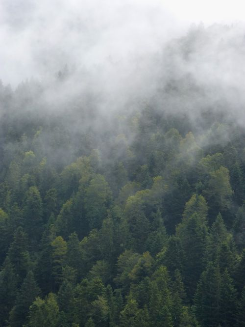 fog forest trees